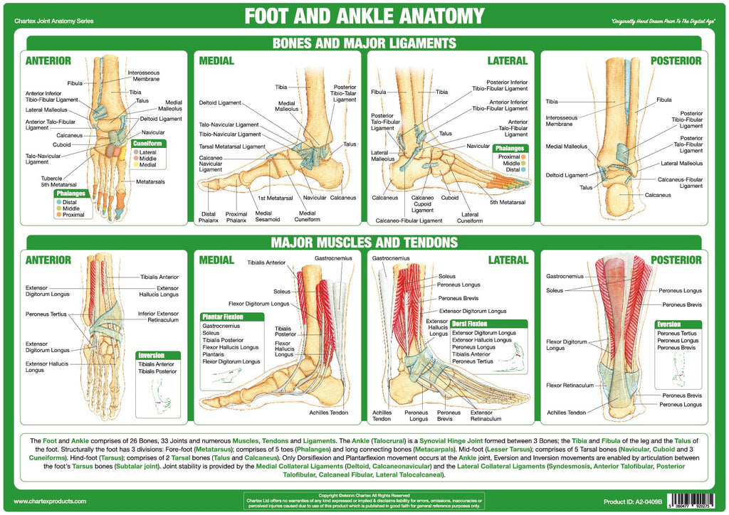 Chartex Foot And Ankle Joint Anatomy Chart Chartex Ltd