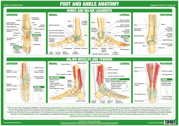 Chartex - Foot and Ankle Joint Anatomy Chart – Chartex Ltd