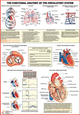 Circulatory System Functional Anatomy Chart