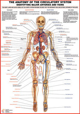 Circulatory System Major Arteries and Veins Chart