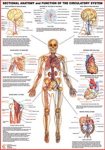 Circulatory System Sectional Anatomy Chart