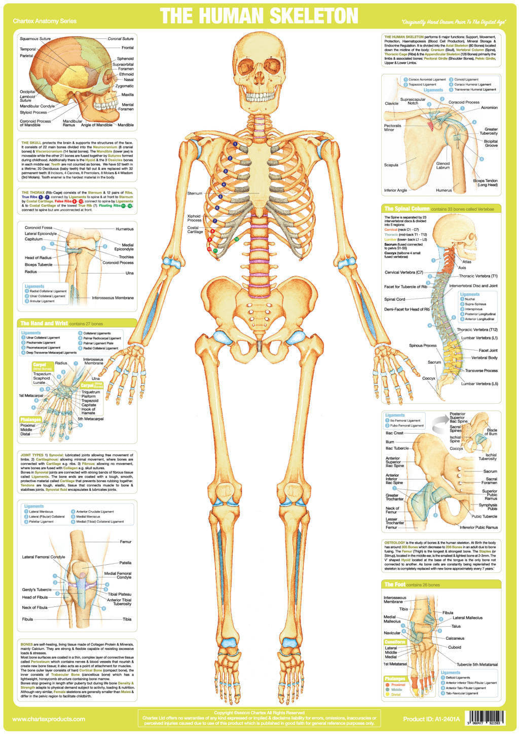 Human Skeleton Poster Chartex Ltd