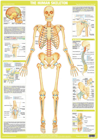 Human Skeleton Chart - Chartex Ltd