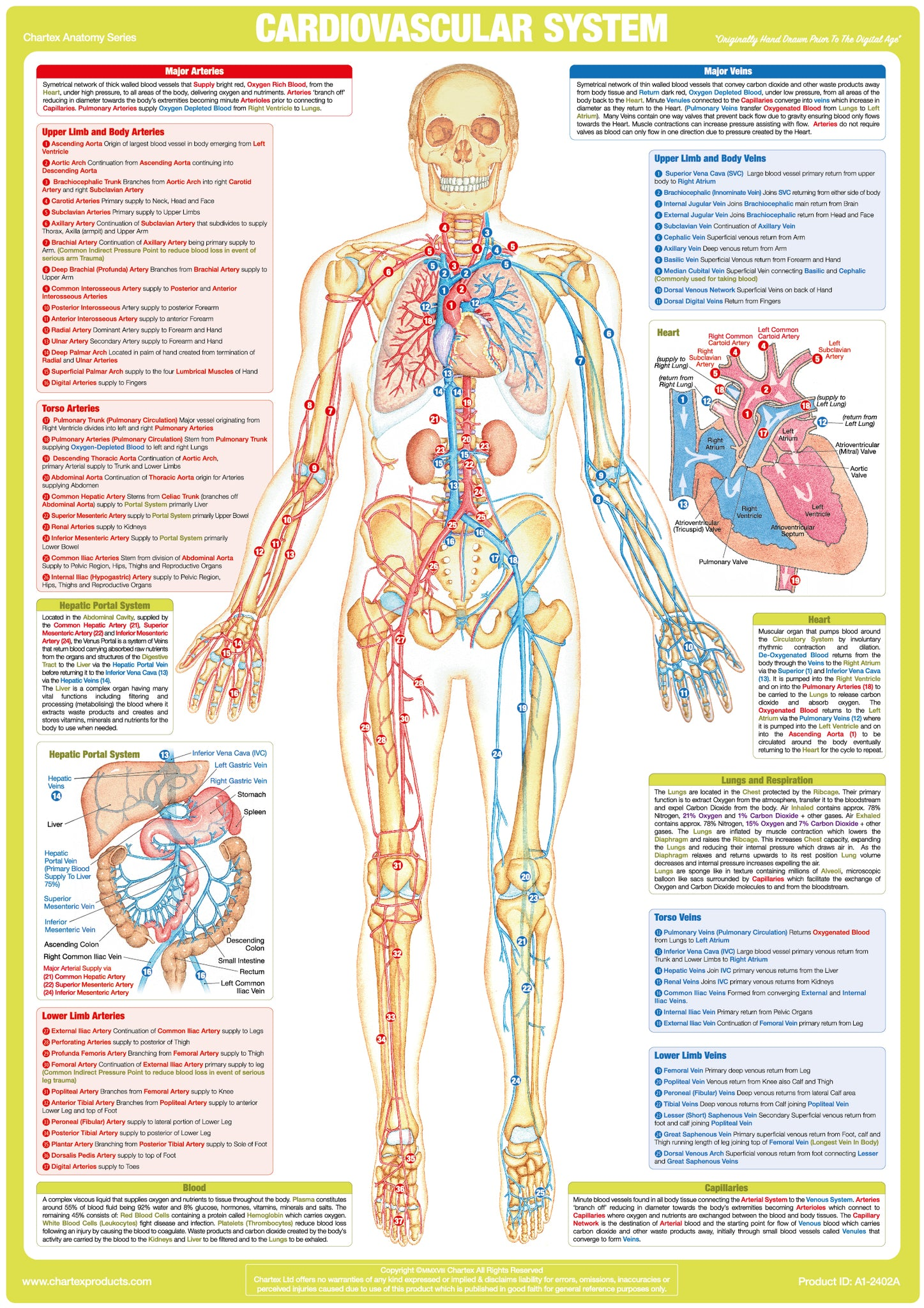 Cardiovascular System Chart