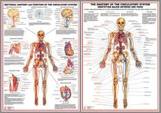 Cardiorespiratory Anatomy Charts - Set of 5