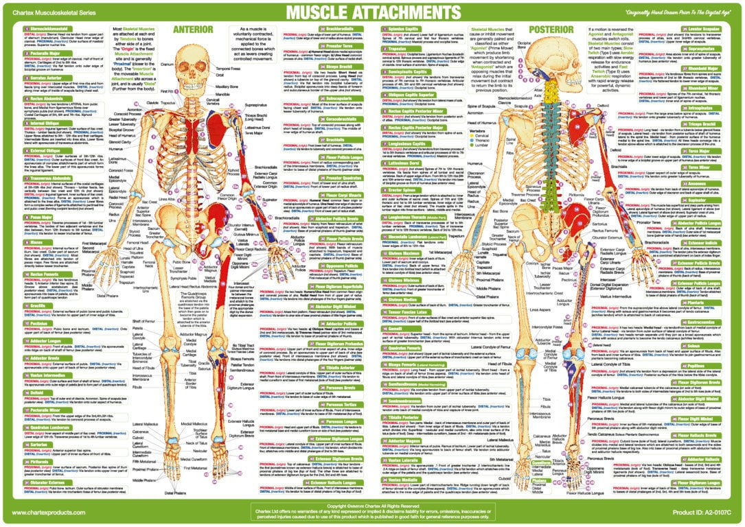 Muscle Attachment Chart - Anterior and Posterior Aspect - Chartex Ltd