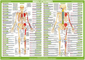 Muscle Attachment Anatomy Chart Anterior and Posterior Aspect