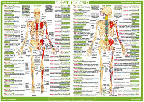 Muscle Attachment Chart - Anterior and Posterior Aspect
