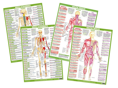 Muscle Anatomy Charts Set of 4
