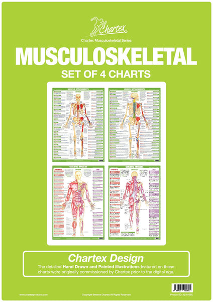 Muscle Anatomy Charts - Set of 4