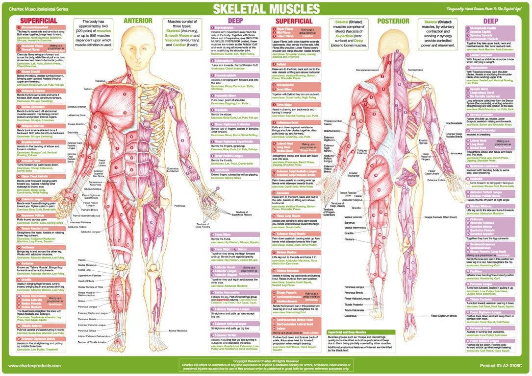 Skeletal Muscles Anatomy Chart - Anterior and Posterior Aspects - Chartex Ltd