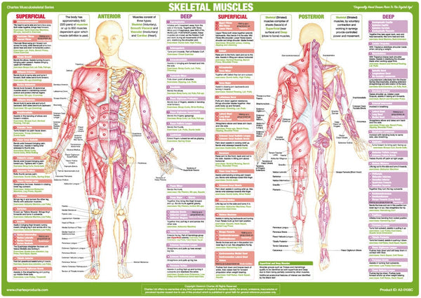 Skeletal Muscles Anatomy Chart - Anterior and Posterior Aspects