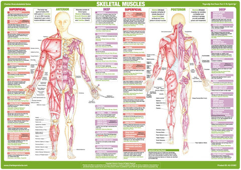 Muscle Anatomy Chart Anterior and Posterior