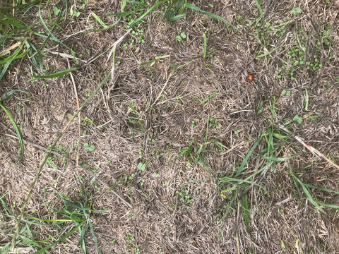 drought damaged lawn