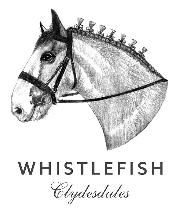 Whistlefish Clydesdales: Spotlight on Pierre!