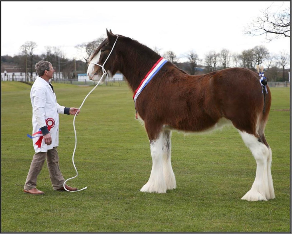 Clydesdale Horse Society stallion show