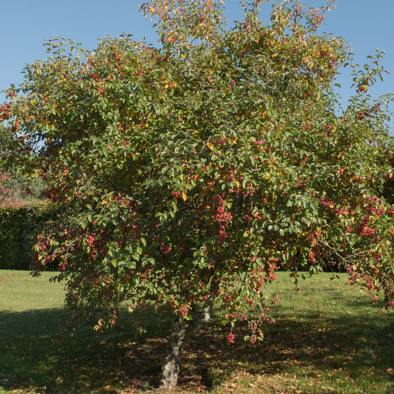 Crab Apple Tree Sapling