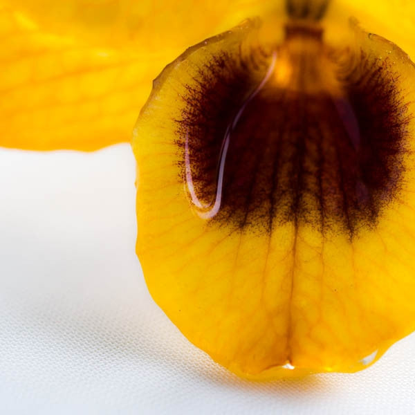 Yellow Nobile Orchid pin.