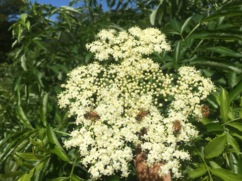 Elderberry Lore: Part 2 of Everything You Wanted to Know about Sambucus But Were Afraid To Ask