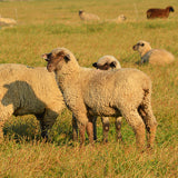 Sheep grazing in grassy field