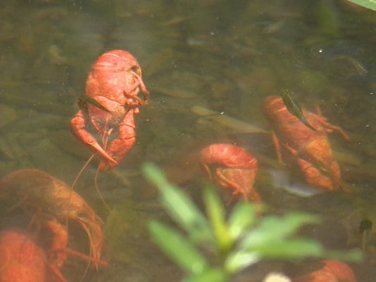 "Neighbors ""Boiling"" Mad About Cooked Crawfish Dumped in Creek"