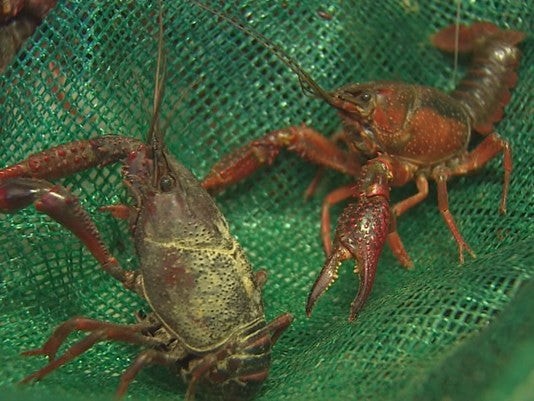 Virus Wiping Out Crawfish in South Louisiana, Houston Distributors Concerned