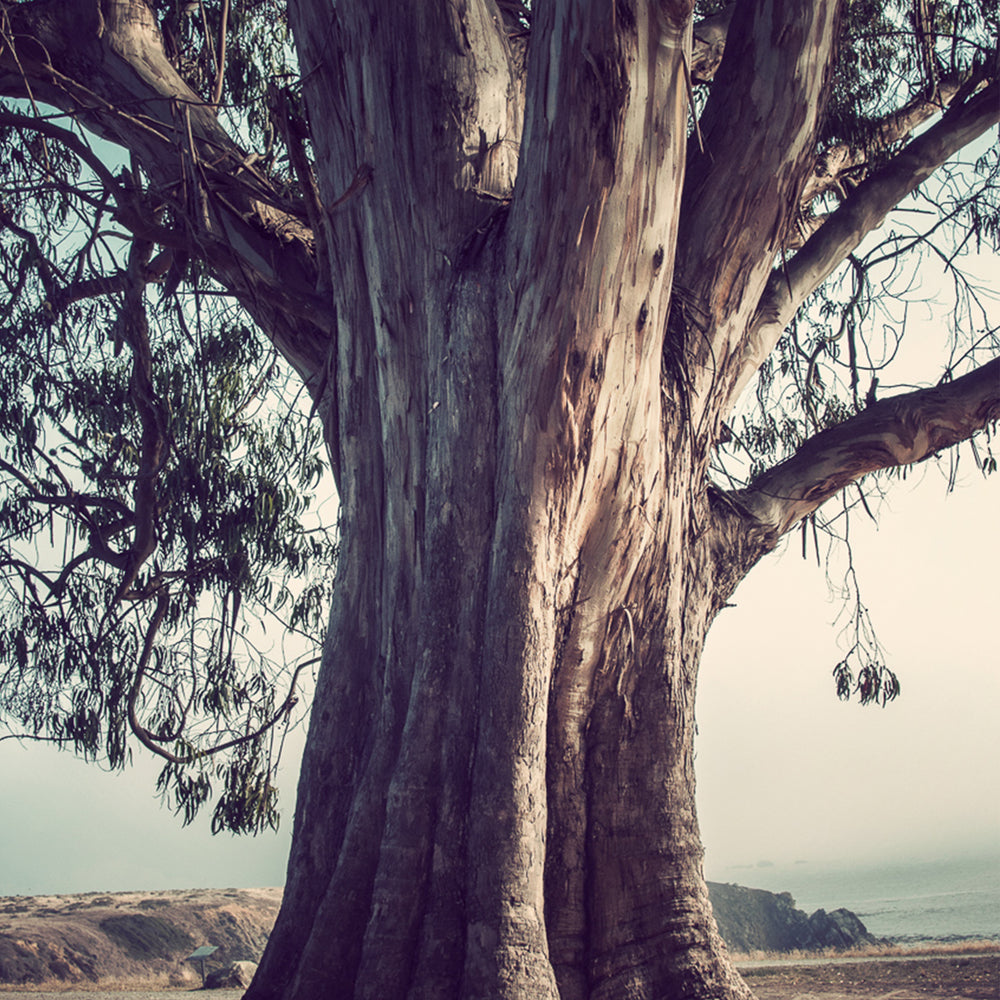 Large tree overlooking Fort Ross photographed by Sara Ferguson