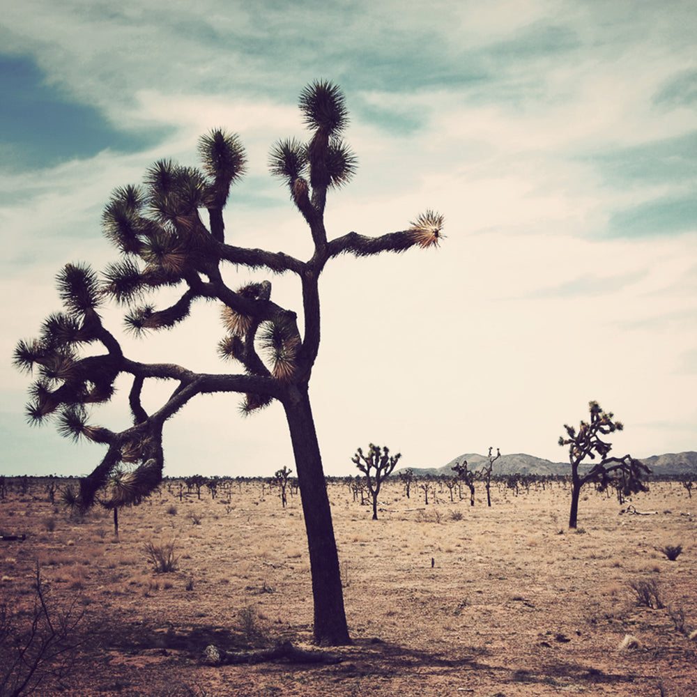 Joshua Tree, CA photographed by Sara Ferguson