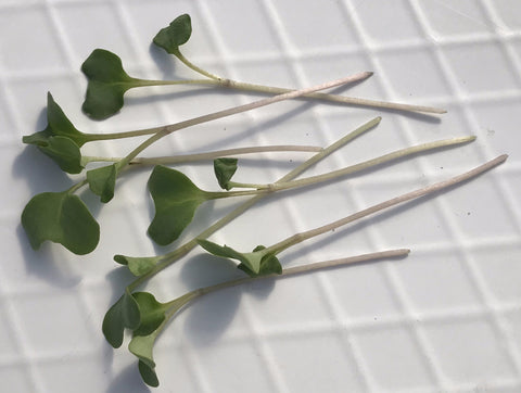 Broccoli Microgreens - 2 oz.