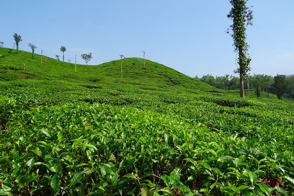 Dilaram Tea Estate