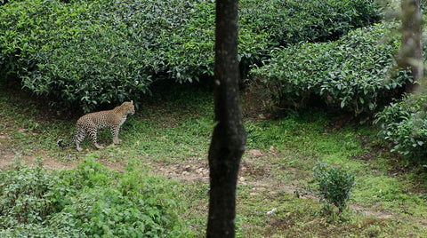 Leopards in Tea Estates, Lepards in TEa Gardens, Teacupsfull, Stories about Tea