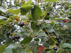 Camphor Tree With Berries