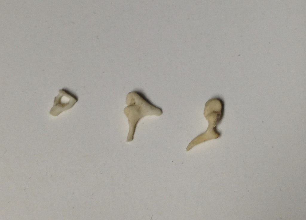 Real Human Ear Ossicles - Malleus Incus Stapes - Bones – 6 Brains