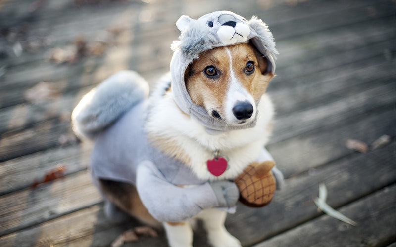 Top 10 Most Loved Costumes Perfect For Your Cute Little Dogs