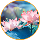 Pink lotus extract
