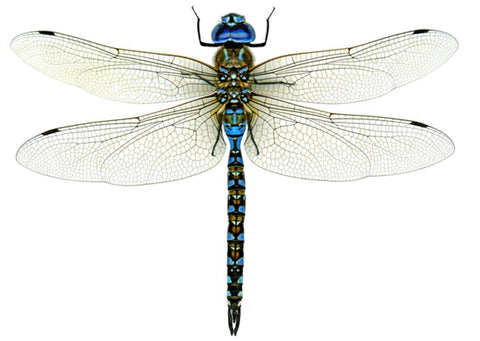 Dragonfly photograph by Dr. Forrest Mitchell and Dr. James Lasswell from their book A Dazzle of Dragonflies (Texas A&M University Press, 2005)
