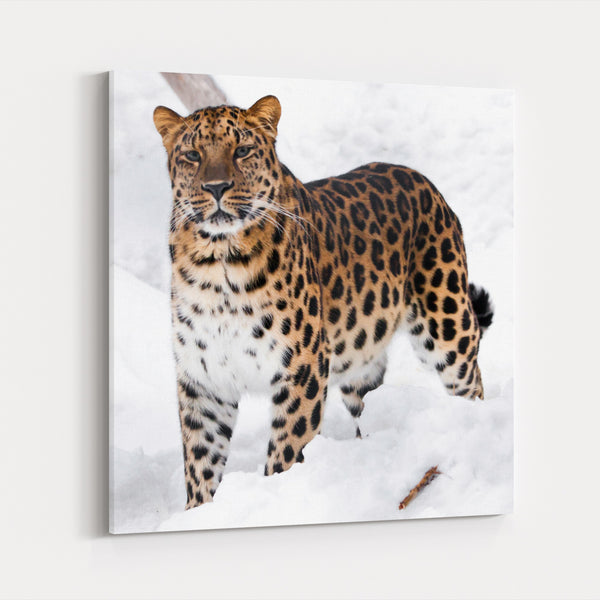 African Leopard Animals Big Cats Canvas