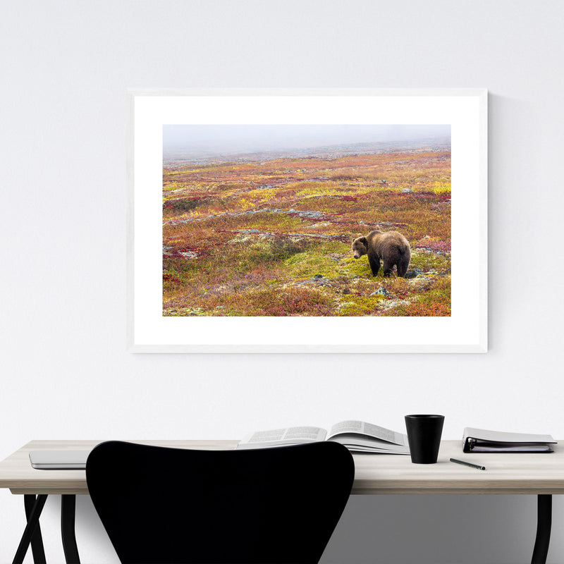 Grizzly Bear Yukon Canada Animal Framed Art Print