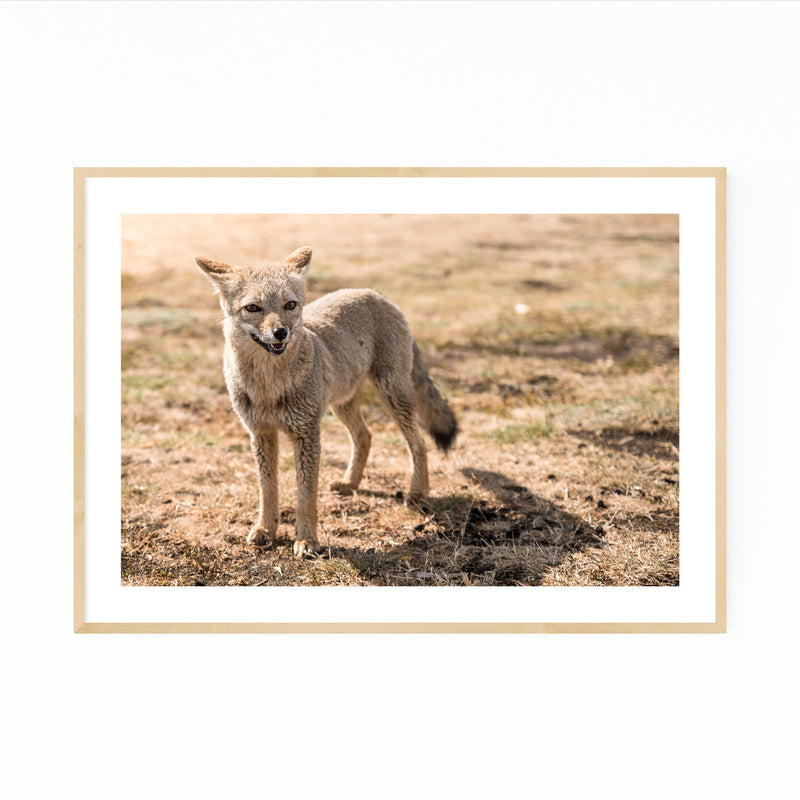 Fox Wildlife Patagonia Argentina Framed Art Print