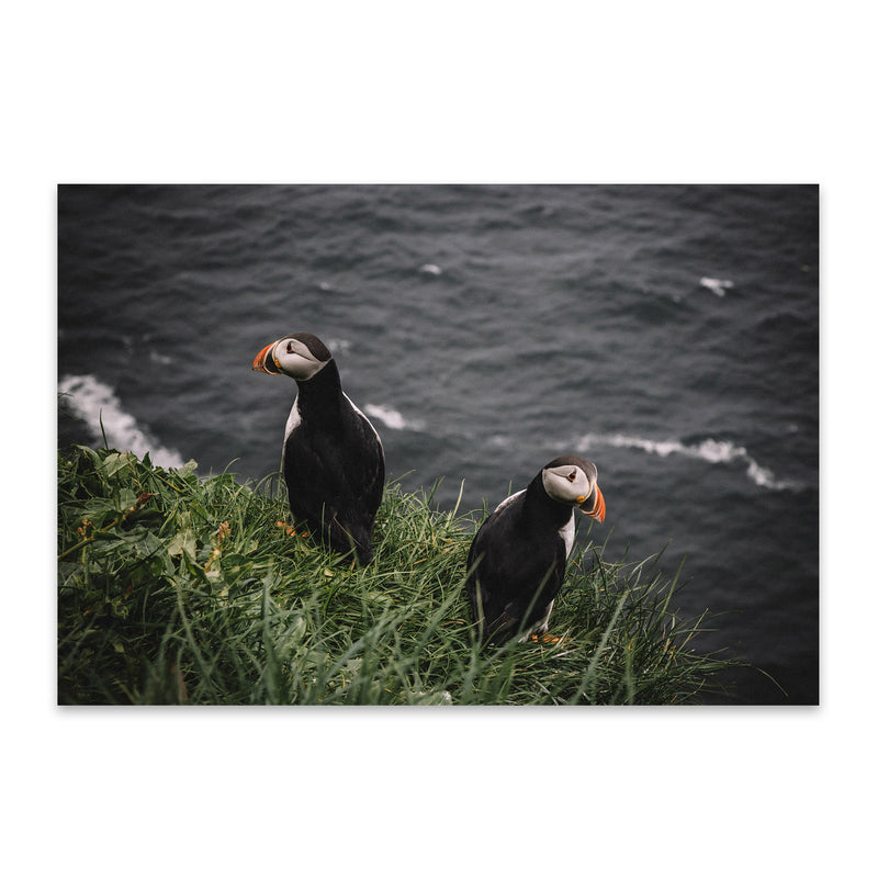 Faroe Islands Puffins Wildlife Metal Art Print