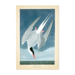 Vintage Arctic Tern Bird Nature Art Print