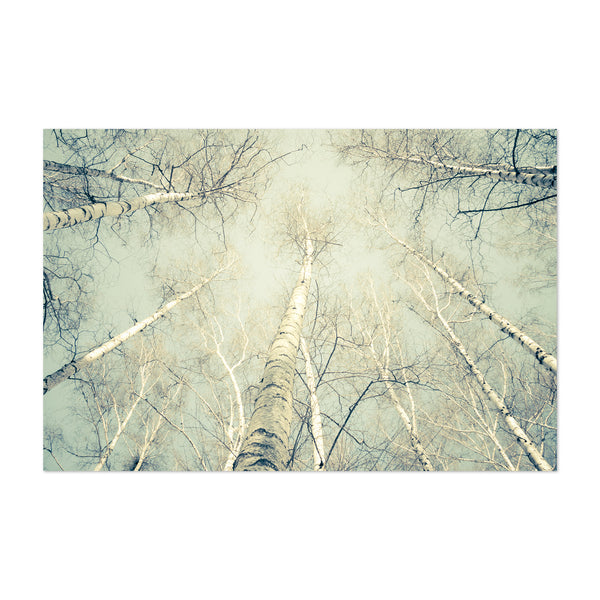 Birch Trees Nature Photography Art Print