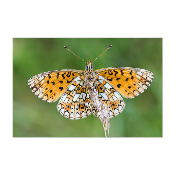 White Orange Butterfly Insect Art Print