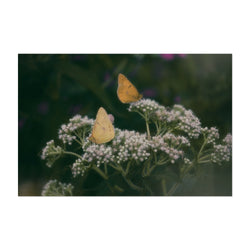 Clouded Yellow Butterfly Animal Art Print