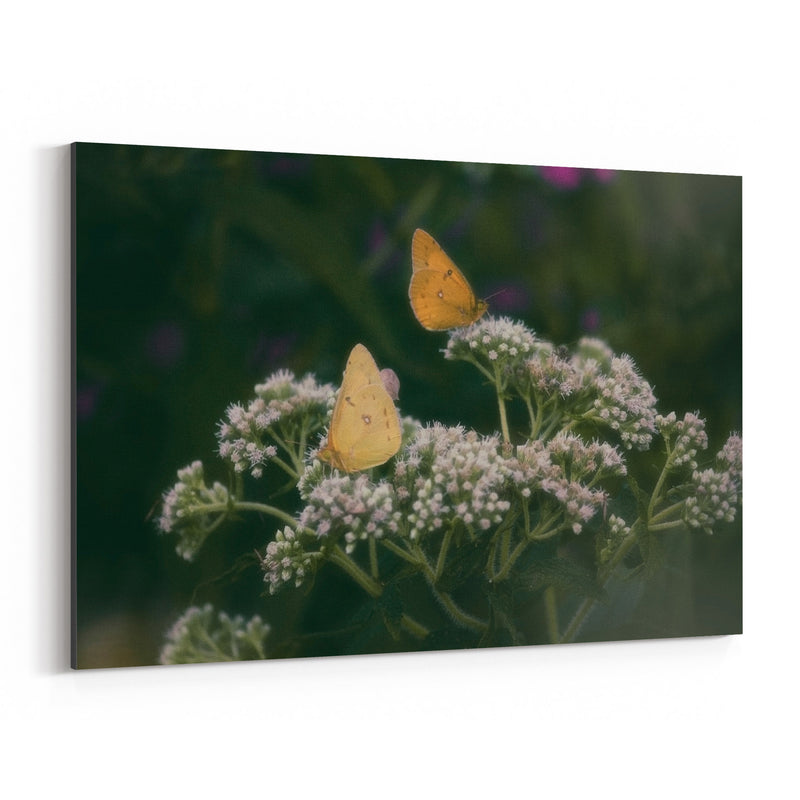 Clouded Yellow Butterfly Animal Canvas Art Print
