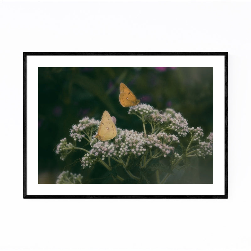 Clouded Yellow Butterfly Animal Framed Art Print