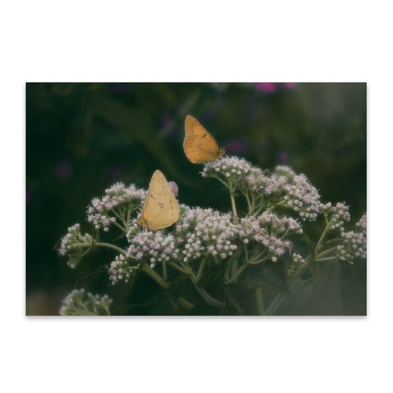 Clouded Yellow Butterfly Animal Metal Art Print