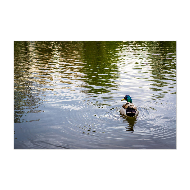 Duck and Ripples in Pond Nature Art Print