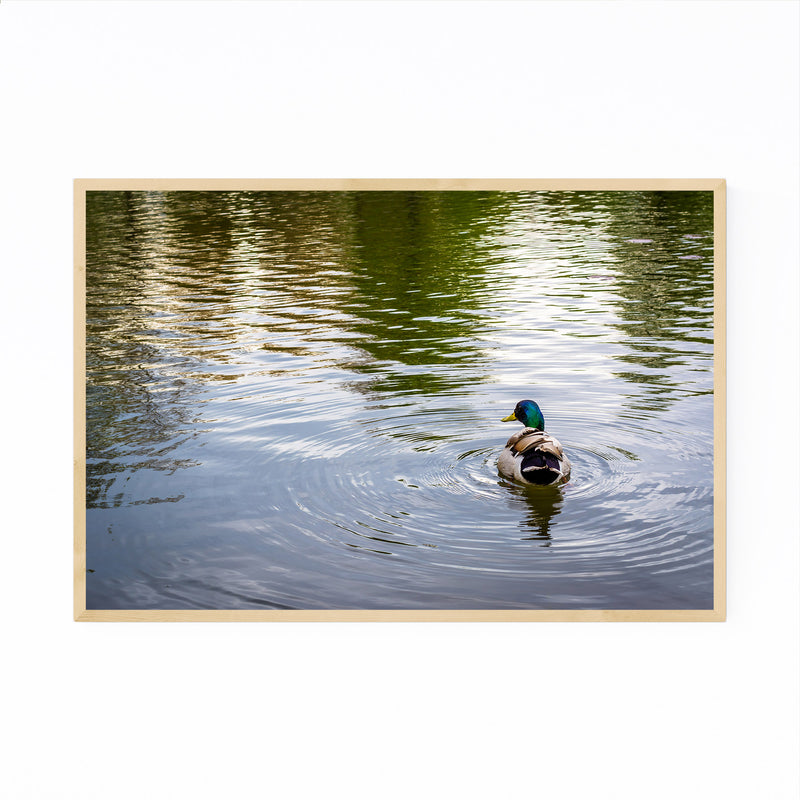 Duck and Ripples in Pond Nature Framed Art Print