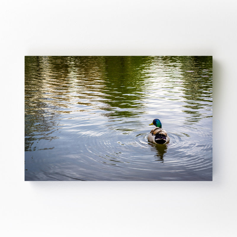 Duck and Ripples in Pond Nature Canvas Art Print